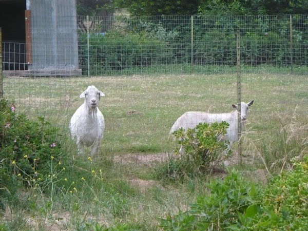 Our Friends' Goats